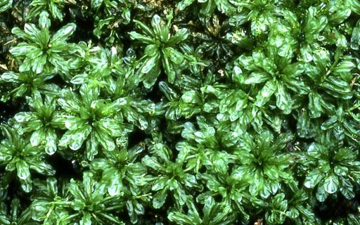 Plagiomnium-maximoviczii04L.jpg