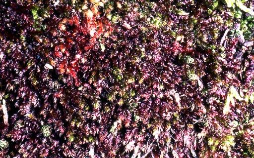 Pseudotaxiphyllum-pohliaecarpum02L.jpg