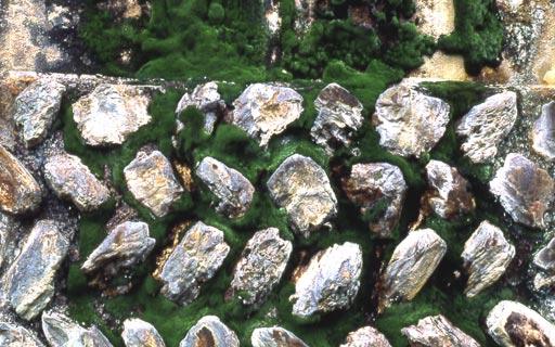 Scopelophila-ligulata04L.jpg