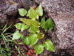 FallopiaMultifloraSANY0012MN20080330M.jpg