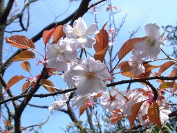 PrunusJamasakura0401SMMiyajima20020328aM.jpg