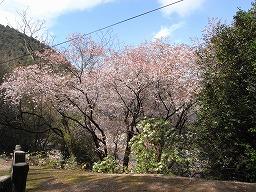 PrunusJamasakuraR0015668HTMiyajima20080331M.jpg