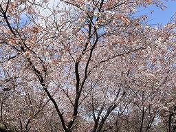 PrunusJamasakuraR0015670HTMiyajima20080331M.jpg