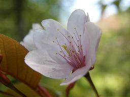PrunusJamasakuraSMAtenoki20080420aM.jpg