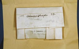 adelanthusrotundi2m.jpg