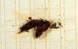 anastrophyllumajp3m.jpg