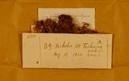 haploziarotundifolia10m.jpg