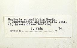 haploziarotundifolia18m.jpg