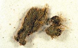 lepidoziaplanifolia3m.jpg