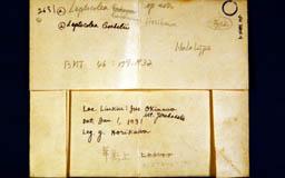 leptocolealiukiuensis3m.jpg