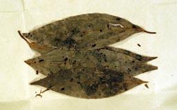 leptocoleamiyajimensis10m.jpg