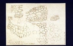 leptocoleaocellata14m.jpg