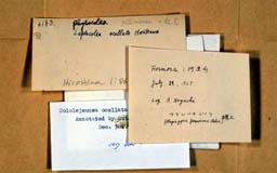 leptocoleaocellata2m.jpg