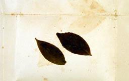 leptocoleapseudogoe5m.jpg