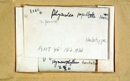 physocoleapapillosa2m.jpg