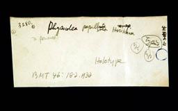 physocoleapapillosa3m.jpg