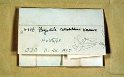 plagiochilacuriosissima2m.jpg