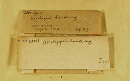 aerobryopsishorrida2m.jpg