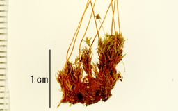 Ochi5091bplant2M.jpg