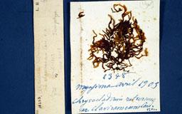 chrysocladiumretrvarclav2m.jpg