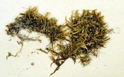 cirriphyllumcrassiner776-2m.jpg