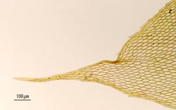 Nog236apex_stem-leafM.jpg