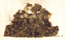 diphysciumunipapillosum3m.jpg