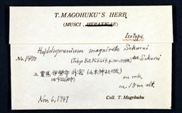 haplohymeniumfasciculare2m.jpg