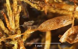 Nog5867sporophyteM.jpg
