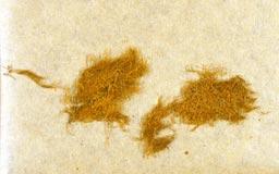 haplohymeniumformosanum3m.jpg