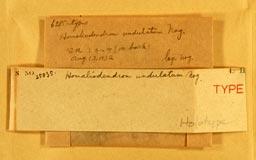 homaliodendronundulatum2m.jpg