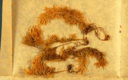 homaliodendronundulatum3m.jpg