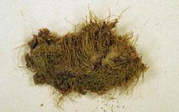 leptoclodiellaflagell2m.jpg