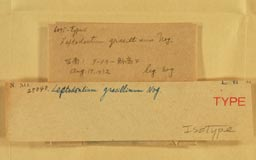 leptodontiumgracillimum2m.jpg