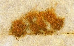 leptodontiumgracillimum3m.jpg