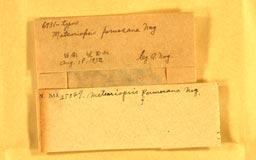 meteoriopsisformosana2m.jpg