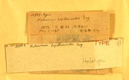 meteoriumpapillarioides2m.jpg