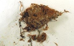 microphilonotisfrigida2-3m.jpg