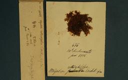 miyabearotundifolia2m.jpg