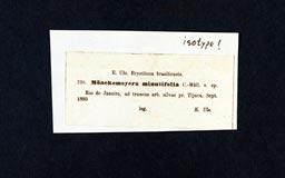 moenkemeyera_minutifolia2m.jpg