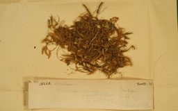 oedicladiumsinicum2M.jpg