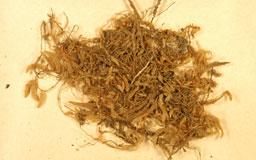 oedicladiumsinicum3M.jpg