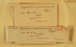 oxyrrhynchium_rigidissimum2m.jpg