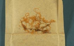 papillaria_formosana3m.jpg