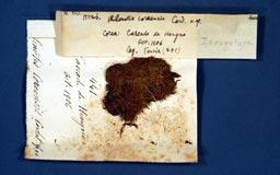 philonotiscoreensis2m.jpg