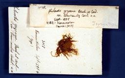 philonotisyezoanatenui2m.jpg