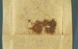 pseudoleskeopsis_hattorii3m.jpg