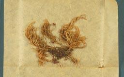 pterobryopsis_arcuata3m.jpg