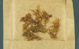 pterobryopsis_morrisonicola3m.jpg