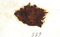 schlotheimiajaponicaO3M.jpg